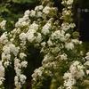 八重咲きコデマリ