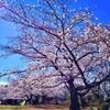 桜(SAKURA) 2019
