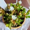 🌵多肉植物  白いお花が綺麗な細雪 他🌵