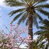 桜とアーモンドの花の見分け方