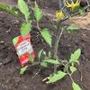 2019年カゴメトマト苗栽培