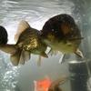 事務所で金魚を飼っています^_^