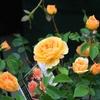 バラの家 培養土比較