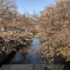 病院・成瀬駅~恩田川桜散歩
