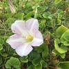 浜花、太陽と潮風浴びて(大島の浜辺に咲く花 ―ハマヒルガオ・コマツヨイグサー)