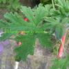 ゼラニウム 香料 Geranium