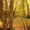 黄色の森深く