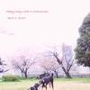 【2019】通勤途中の桜と2015年の桜散歩