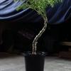 「Pelargonium carnosum」