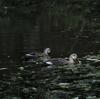 早朝探鳥、石神井公園の野鳥/2017-9-18、善福寺公園の野鳥/2017-9-19