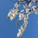 岩見沢幌向の園芸店さくらやのブログ「野草魂(やそうだましい)」
