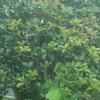 銀木犀ではなく、ヒイラギモクセイの花の間違いみたいだ。