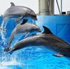 この日本でも、イルカ達を水槽に監禁する水族館の存在意義が問われはじめている。日本政府の魂胆に騙されないようにしよう。 #イルカビジネスに終止符を