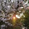 夕陽と桜(1)こぼれる光