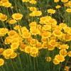 畑のハーブの花4