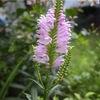 花虎の尾開花