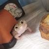 レオパことヒョウモントカゲモドキの魅力を語ります
