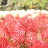 山口県にある彼岸花の名所をご紹介|小鯖八幡宮・南原寺