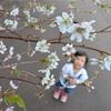 北海道・釧路でサクラ咲く 台風で花芽が季節を勘違い?