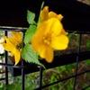 山吹 古くから鑑賞され愛された花.一種でヤマブキ属を構成しています. 和歌には花の美しさ,散りやすさ,実がならないことなどが詠い込まれます.八重花は実をつけません. / 万葉集   やまぶきの,たちよそひたる やましみず,くみにいかめど,みちのしらなく 高市皇子