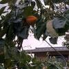 2代目祇園坊柿そろそろ熟してるかしら、、、安神社行ってきました。