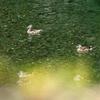オシドリは奥嶽川で