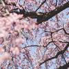愛媛の桜レポート