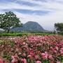 済州島(チェジュ島)6月フォトスポット #6月のチェジュ島はアジサイがいっぱい!