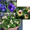 トレニア わが庭の毎年の定番.これから秋まで,株を大きくしながら,咲き続けてくれるでしょう./ 以前はゴマノハグサ科,今はアゼナ科.花はゴマに似ている気がしますが,ゴマの花はなかなか出会えない.喜界島まで行けばみられるそうです.