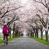 茨城サイクリング/りんりんロードの「桜」&石岡市「いちご狩り」のススメ