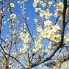 実家の梅も満開・・・なのでお花見といいたいとこだけど、本日農作業のお手伝い♪ 3月6日
