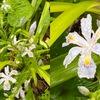 春から初夏の花2 シャガ 初めて見た頃は,とても美しい花と思っていたのに,  最近雑草扱い.手入れされず,咲き乱れるというより乱れきっています.地下茎でどんどん増え,他の植物のテリトリーを侵食してしまう---「中国ではシャガは胡蝶花」.学名は,「アヤメ属日本代表」:Iris japonica.雑草扱いはかわいそうですね.少し反省.神社の裏山などで咲きそろっている姿は,時に息をのむほど見事です.