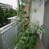 [食養キュウリとミニトマトが1m80cmに