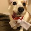 愛犬コーギーさくらのその後。白血病の可能性が1番高い