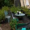 ブルーベリー苗木の剪定と仕立て 自由活動 バラ2