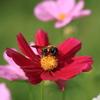 題名「コスモスとハチ」