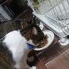 やっと血尿が治った!猫の特発性膀胱炎とストルバイト結晶の経過まとめ