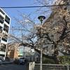 博多区 板付 桜情報|博多区 チラシ配り