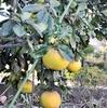 庭の柑橘たち