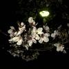 今年は夜桜を撮ってみた