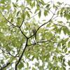 ムシクイに出会い雨に降られる(大阪城野鳥探鳥 2016/07/17 4:50-8:40)