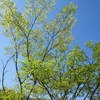 今の時期のどんぐりの木が好き