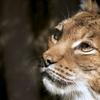 オオヤマネコ Lynx lynx