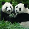 アルビノパンダが中国に出現です!(◎_◎;)