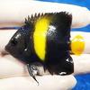【現物3】アズファー 6cm± 海水魚 ヤッコ 餌付け!15時までのご注文で当日発送【ヤッコ】
