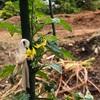 初心者の家庭菜園 2年目のトマト