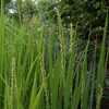 稲の花.  Reispflanze blüt