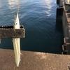 濁った海でもサヨリは釣れる?効率の良いエサの検証(福井・小浜新港)