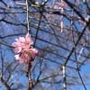 桜咲きましたヽ(´▽`)/