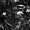 今日の1枚 シャガの花も、モノクロでは別物ですね